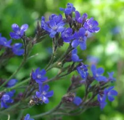 Anchusa, Azure (Anchusa azurea), packet of 20 seeds
