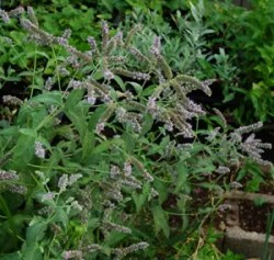 Mint, Arabian (Mentha longifolia), packet of 100 seeds, organic
