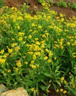 Arnica chamissonis, packet of 50 seeds, Organic