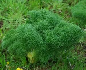Asafetida (Ferula assa-foetida), packet of 10 seeds, organic