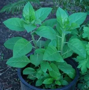 Belladonna, Official (Atropa belladonna), packet of 30 seeds, organic
