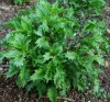 Basil, Mrihani (Ocimum basilicum), packet of 30 seeds, organic