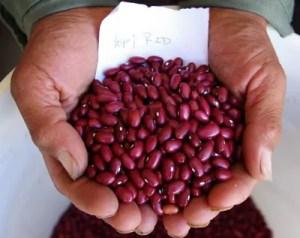 Bean, Hopi Red (Phaseolus vulgaris), packet of 20 seeds, organic