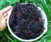 Elderberry Set (3 seed packets): Elderberries--black, blue and Mexican