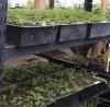 Brahmi (Bacopa monnieri), packet of 30 seeds, organic