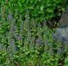Bugle (Ajuga reptans), packet of 20 seeds