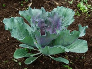 Cabbage, Red Head (Brassica oleracea capitata), packet of 200 seeds, organic