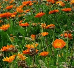 """Calendula Set"" (3 seed packets) Calendulas- Mixed, Orange and Yellow (all organic)."