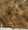Camelina (Camelina sativa), packet of 300 seeds, organic