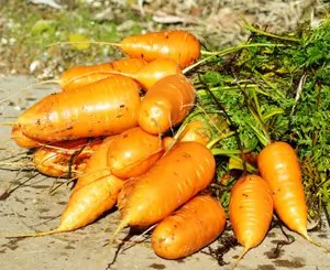Carrot, Chantenay Sweet Redcore (Daucus carota), packet of 300 seeds, organic