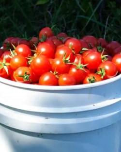 Tomato, Chadwick's Cherry (Lycopersicon esculentum), packet of 50 seeds, organic