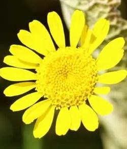 Chamomile, Dyer's (Anthemis tinctoria), packet of 100 seeds, organic