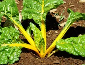 Chard, Orange Fantasia (Beta vulgaris cicla versicolor), packet of 100 seeds, organic