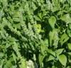 Chia, Mexican White (Salvia hispanica) seeds, organic