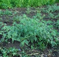 Chickpea, White Kabuli (Cicer arietinum), packet of 50 seeds, organic