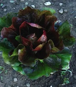 Radicchio, Palla Rossa, packet of 200 seeds, organic