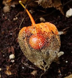 Japanese Lantern (Physalis alkekengi franchetii), packet of 50 seeds, organic