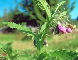 Comfrey, True (Symphytum officinale var patens), packet of 20 seeds, organic