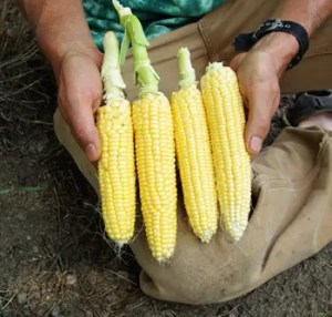 Corn, Fisher's Earliest (Zea mays), by the pound, organic