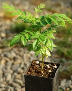 Curry-Leaf Tree (Murraya koenigii) potted seedling, organic