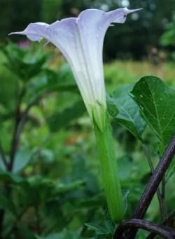 Datura, Mranaha (Datura fastuosa), packet of 10 seeds