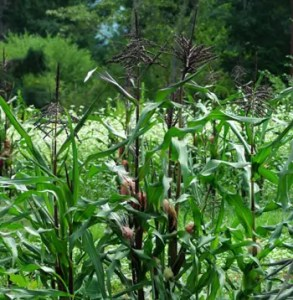 Corn, Double Red Sweet (Zea mays), packet of 100 seeds, organic