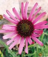 Echinacea tennesseensis, packet of 50 seeds, organic
