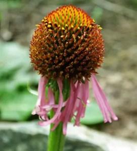 Echinacea atrorubens, packet of 20 seeds