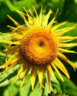 Elecampane, Official (Inula helenium), packet of 50 seeds, organic