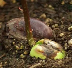 Dream Vine, African (Entada rhedii), packet of 1 seed