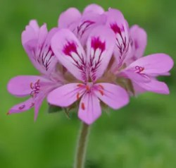 Geranium, Scented (Pelargonium capitatum), packet of 20 seeds, organic