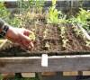 Basil, Greek (Ocimum minimum), packet of 100 seeds, organic