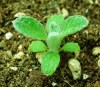 Greek Mountain Tea (Sideritis syriaca), packet of 20 seeds