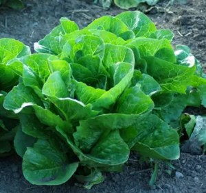 Lettuce, Green Towers Romaine (Lactuca sativa), packet of 200 seeds, organic
