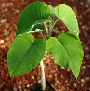 Hawaiian Baby Woodrose (Argyreia nervosa), packet of 10 seeds