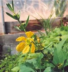Heimia (Heimia salicifolia), packet of 500 seeds, organic