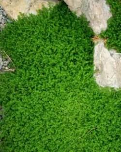 Rupturewort (Herniaria glabra), packet of 100 seeds, organic