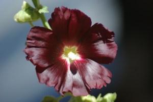 Hollyhock, Arabian Nights (Alcea rosea var nigra), packet of 20 seeds, organic