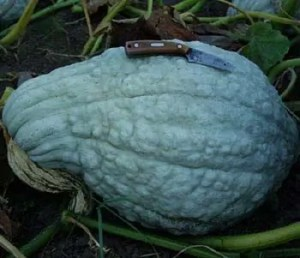 Squash, Blue Hubbard (Cucurbita maxima), packet of 10 Seeds, Organic