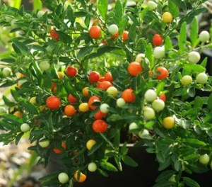 Jerusalem Cherry (Solanum pseudocapsicum), packet of 20 seeds, organic