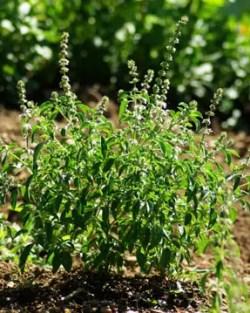 Basil, Kivumbasi Lime (Ocimum canum), packet of 50 seeds, organic