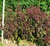 Tulsi, Krishna -- Holy Basil, Shyama Tulasi (Ocimum tenuiflorum), packet of 20 seeds, organic