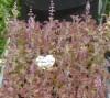 TULSI (Holy Basil) SEED SET (5 seed packets): Amrita, Krishna, Rama, Temperate & Vana, organic
