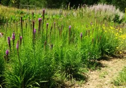 Gayfeather (Liatris spicata), packet of 100 seeds