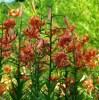 Lily, Tiger Live Bulblets (Lilium tigrinum), pkt. of 20, organic, [INTL NO]