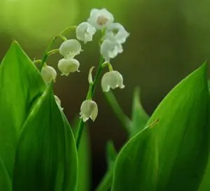 Lily-of-the-Valley (Convallaria majalis), packet of 30 seeds