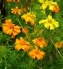 Marigold Set (4 seed packets): Marigolds--African Tururu, Desert, French and Mexican