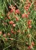 Ephedra seed set (5 packets): Bluestem Ephedra; Ma-huang; Zhong-ma-huang; Mormon Tea NV, Mormon Tea Green