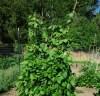 Bean, Madiera Maroon (Phaseolus vulgaris), packet of 20 seeds, organic