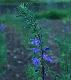 Balm, Moldavian (Dracocephalum moldavicum), packet of 50 seeds, organic